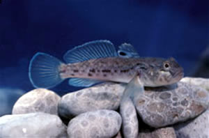 adult round goby