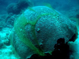 brain coral pollution
