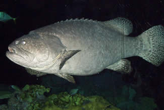 bubba grouper