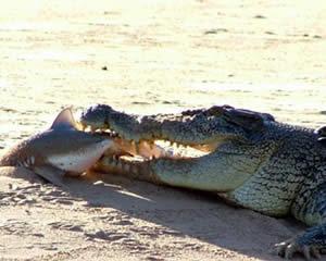 http://www.underwatertimes.com/news2/bullshark_crocodile.jpg