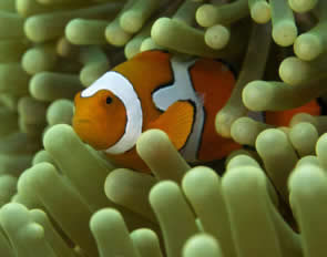 clownfish chemical tag