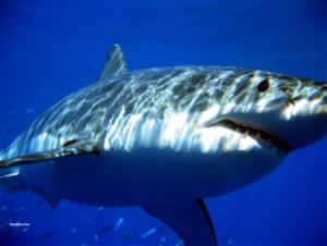 great white shark isla guadalupe