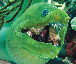 moray eel big