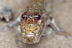 mudskipper fish