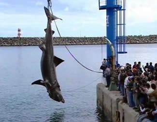 THE  ZIG RIG Port_shark2