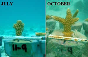 staghorn_coral_nusery