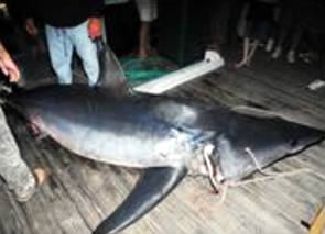 world record mako shark florida2