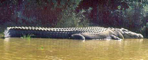 UnderwaterTimescom Guinness India Park Home To Worlds Largest - Meet worlds largest crocodile caught philippines