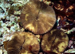Fungia corals yellow band disease