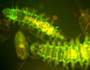 Green Bioluminescence