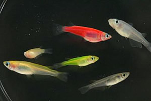 Japanese Killifish