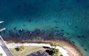 aerial manatee survey florida