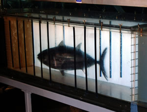 bluefin tuna treadmill monterey