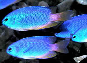 damselfish water warm