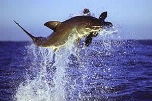 great white shark leaping seal geographic profiling