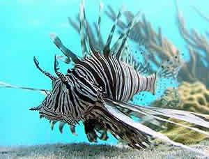 lionfish invasion bahamas