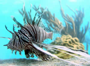 lionfish invasive