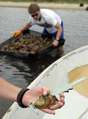 oyster ocean acidification