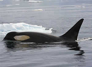 pack ice killer whale