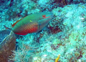 red banded parrotfish