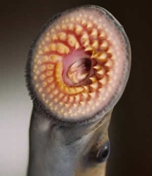Pictures Of Sea Lamprey Bite Human Kidskunst Info