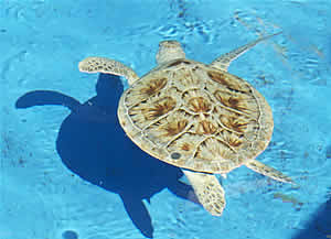sea turtle fisher after rehab