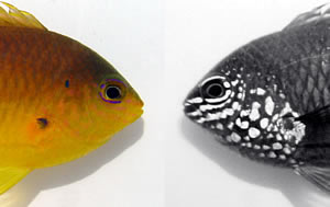 ultraviolet markings damselfish
