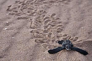 Leatherback Sea Turtle Hatchling