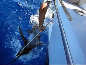 Pacific blue marlin tagged
