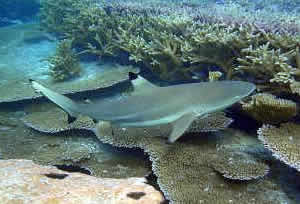 blacktip shark reef