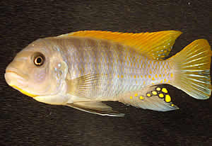 cichlid swimming