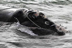 entangled right whale