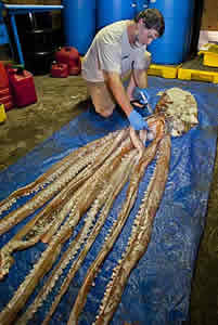 giant squid florida research