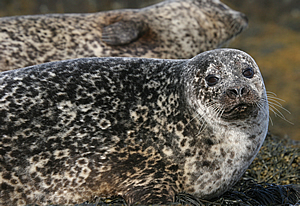 grey seal scotland