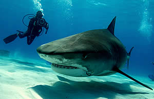 Underwatertimes Com Guy Harvey Calls For Bahamas Shark Fishing Ban Before It Is Too Late
