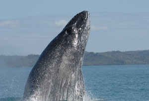 humpback head singing