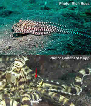 jawfish mimic octopus indonesia