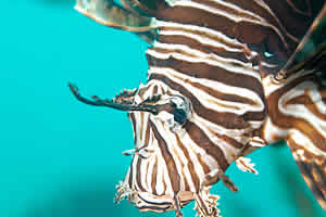 lionfish florida harvest