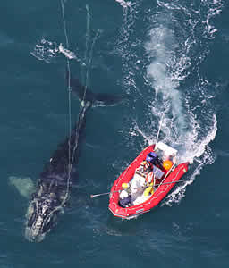 noaa sedated whale entangled