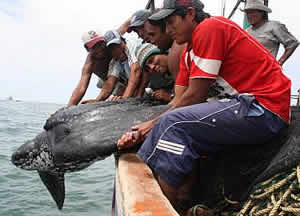 peru turtle bycatch