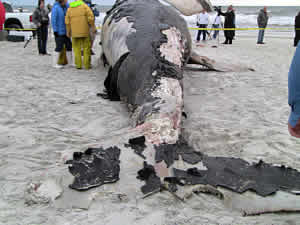 right whale entaglement death