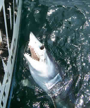 shortfin mako shark fishing