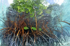 submerged mangrove