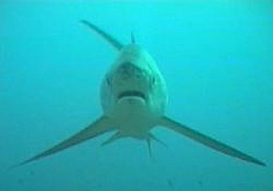 thresher shark pelagic