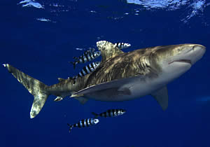 whitetip_shark