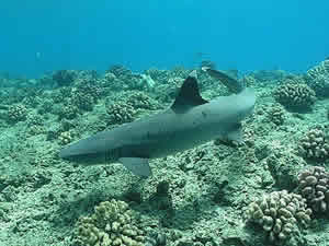 whitetip shark mote