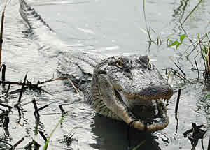 fruit eating alligator