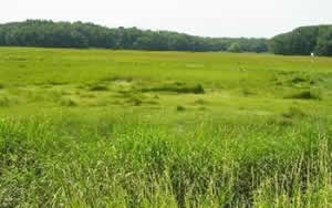 green salt marsh