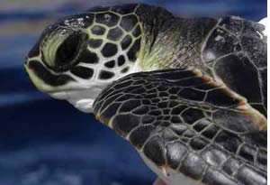 juvinile sea turtle