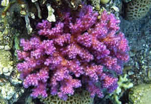 photoprotective chromoprotein coral